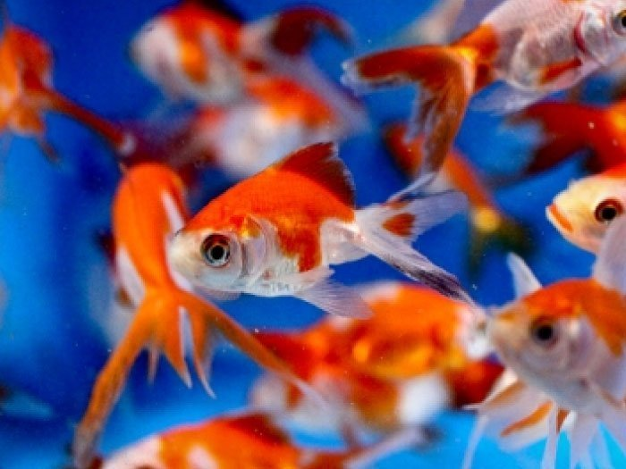 Dc freshwater fish the fish fantail goldfish for Ornamental pond fish for sale